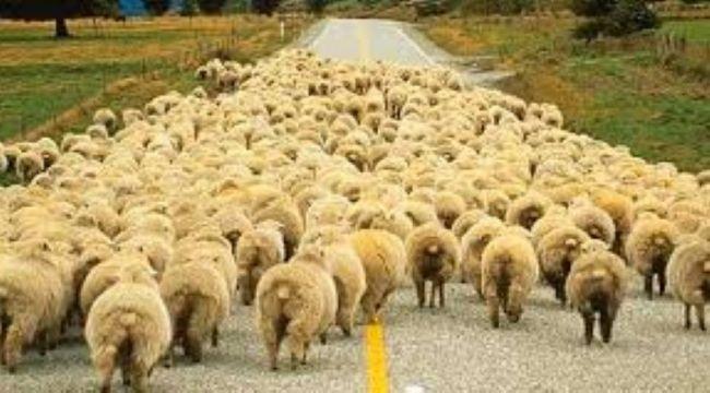 Çoban dolandırıldı