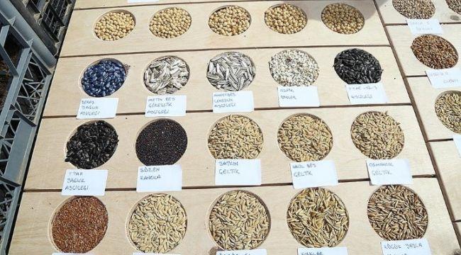Yerli buğdayımız toprakla buluşuyor