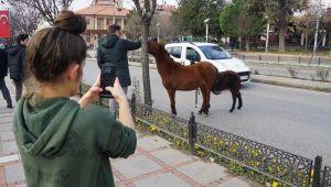 Atlar telefon kameralarına takıldı