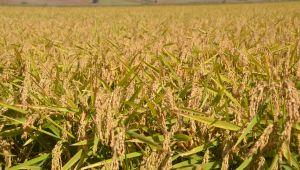 Borsadan buğday rekoru