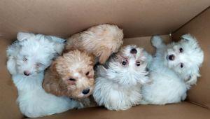 Köpek yavruları kutu içine bırakılmış
