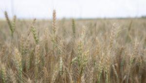 Borsa'da Anadolu kırmızı sert buğday 1,743 liradan işlem gördü