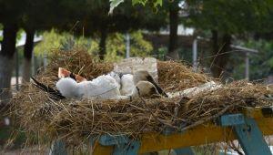 Annelerinin terk ettiği yuvadan düşen leylekler korumaya alındı
