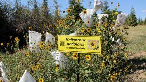 TÜ'den 'Dünya Ayçiçeği Koleksiyonu Bahçesi'