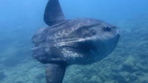 Saros körfezinde ay balığı görüntülendi