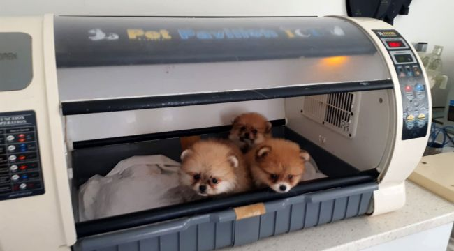 Kaçak yollarla gelen köpeklerin 4'ü kuvözde