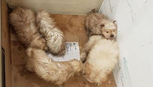 pomerian cinsi 7 köpek yavrusu yakalandı
