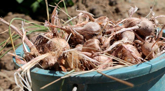 Safranın soğan hasadına başlandı