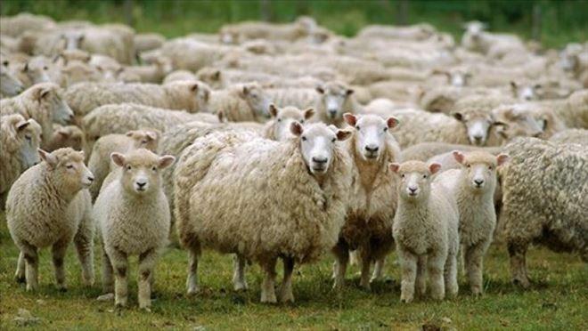 Koyun kavgası